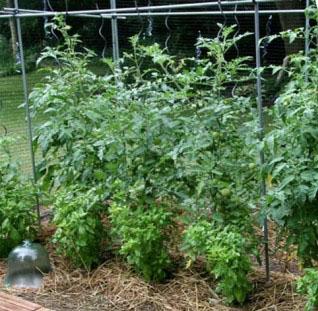 Φυτά που Πρέπει να Φυτεύονται Δίπλα στις Ντομάτες