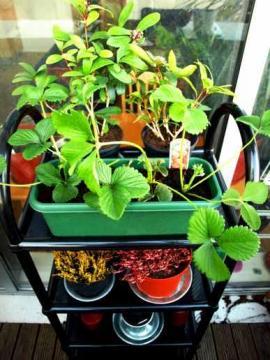 Kαλλιέργεια φράουλας στο σπίτι